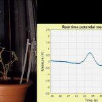 Come misurare il potenziale d'azione delle piante