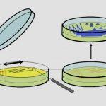Come coltivare i batteri in modo corretto