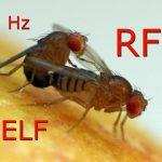 L'effetto dei campi elettromagnetici sui moscerini